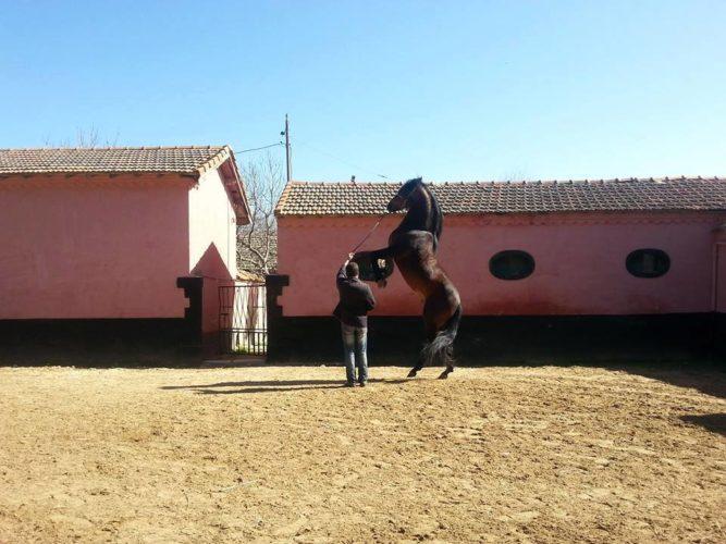 Le centre d'élevage de chevaux Chaouchoua à tiaret