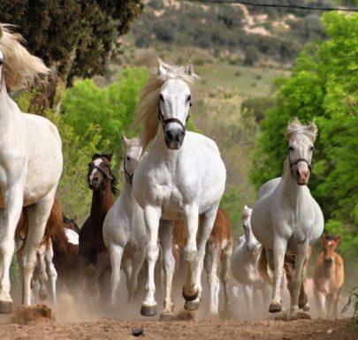 élevage de chevaux dans la ville de tiaret